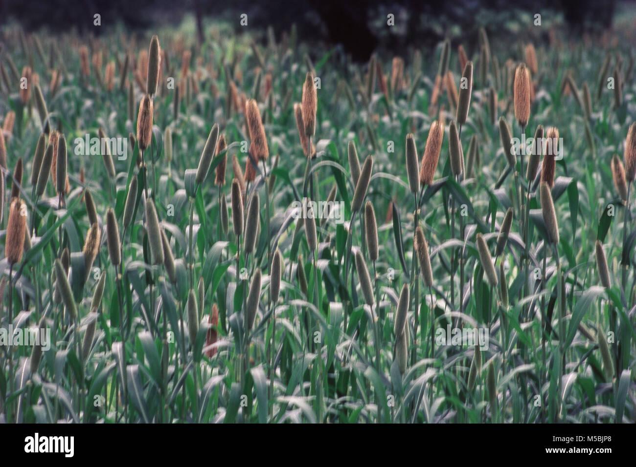 Close up of Bajra, cereal grain field, Sakori, Maharashtra, India - Stock Image