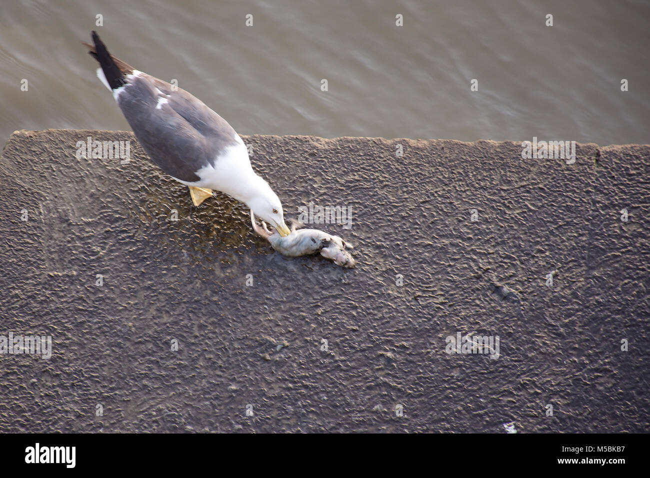 Seagull attempting to consume dead rat on banks of Thames river in London.Animal behaviour,rare.Nature uk.Natural - Stock Image