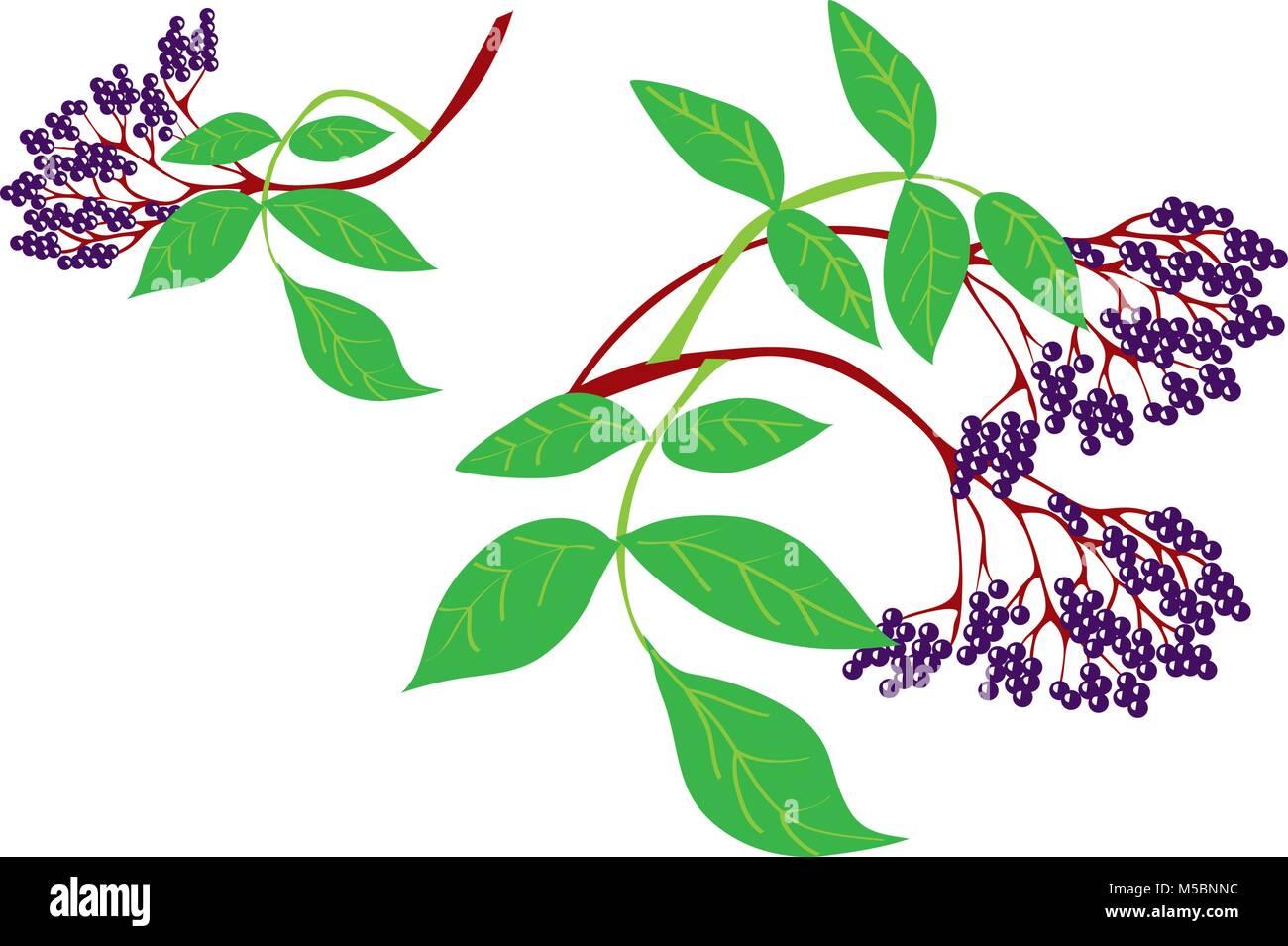A cartoon illustration of Elderberries - Stock Vector