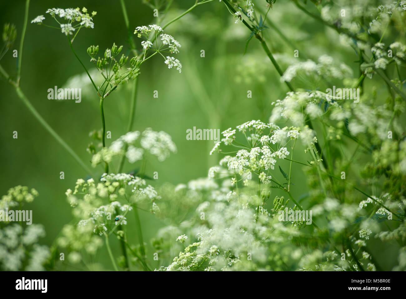 Weisse Blüten - Stock Image