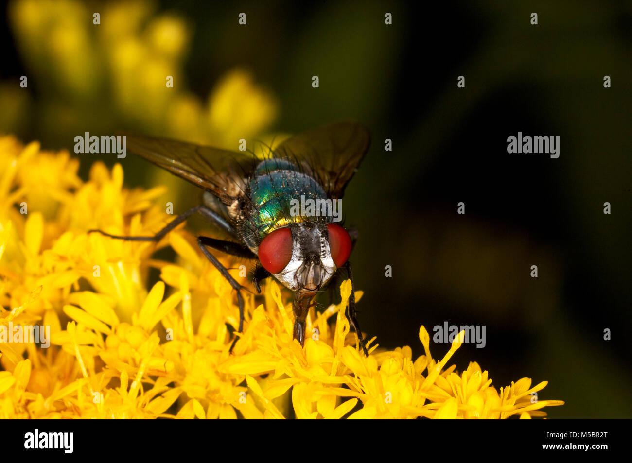 Fliege auf einer Blume Stock Photo
