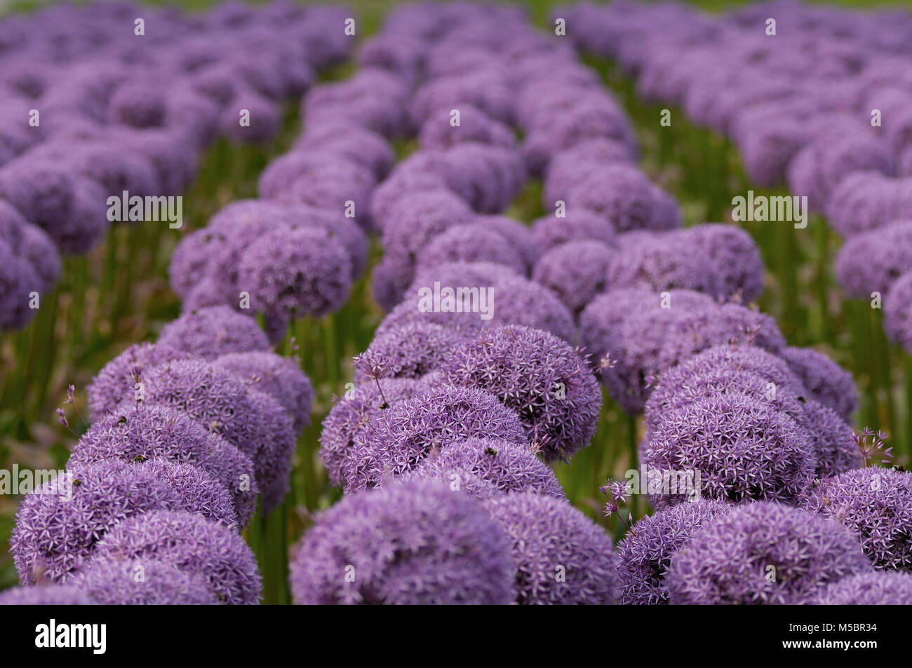 Blumenfeld in Holland - Stock Image
