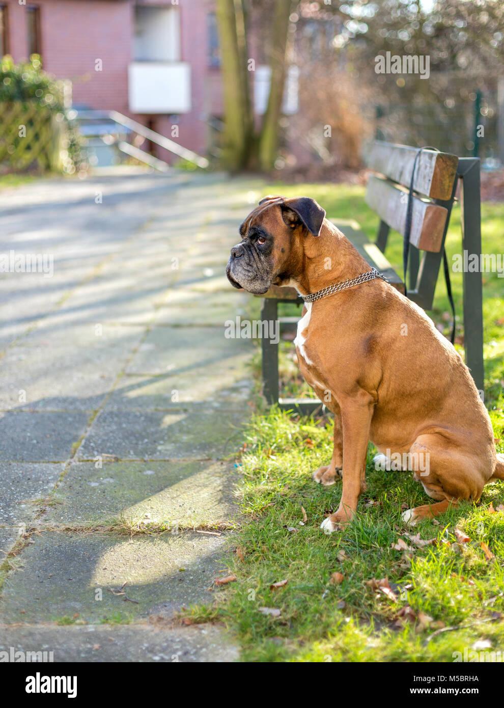 Boxer hund alleine neben einer Bank allein gelassen - Stock Image