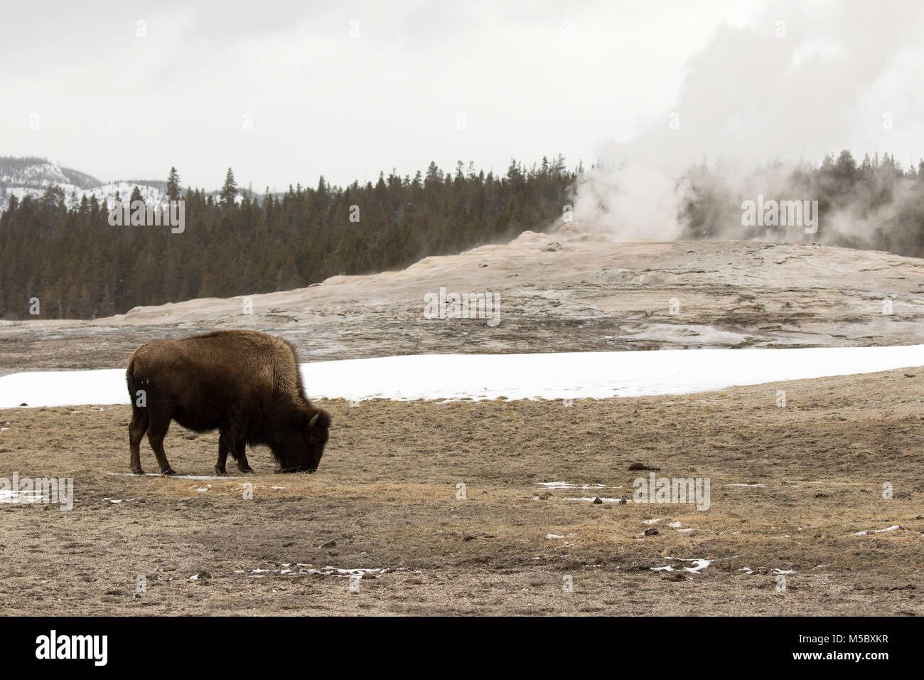 Bison Or American Buffalo By Old Faithful Geyser In