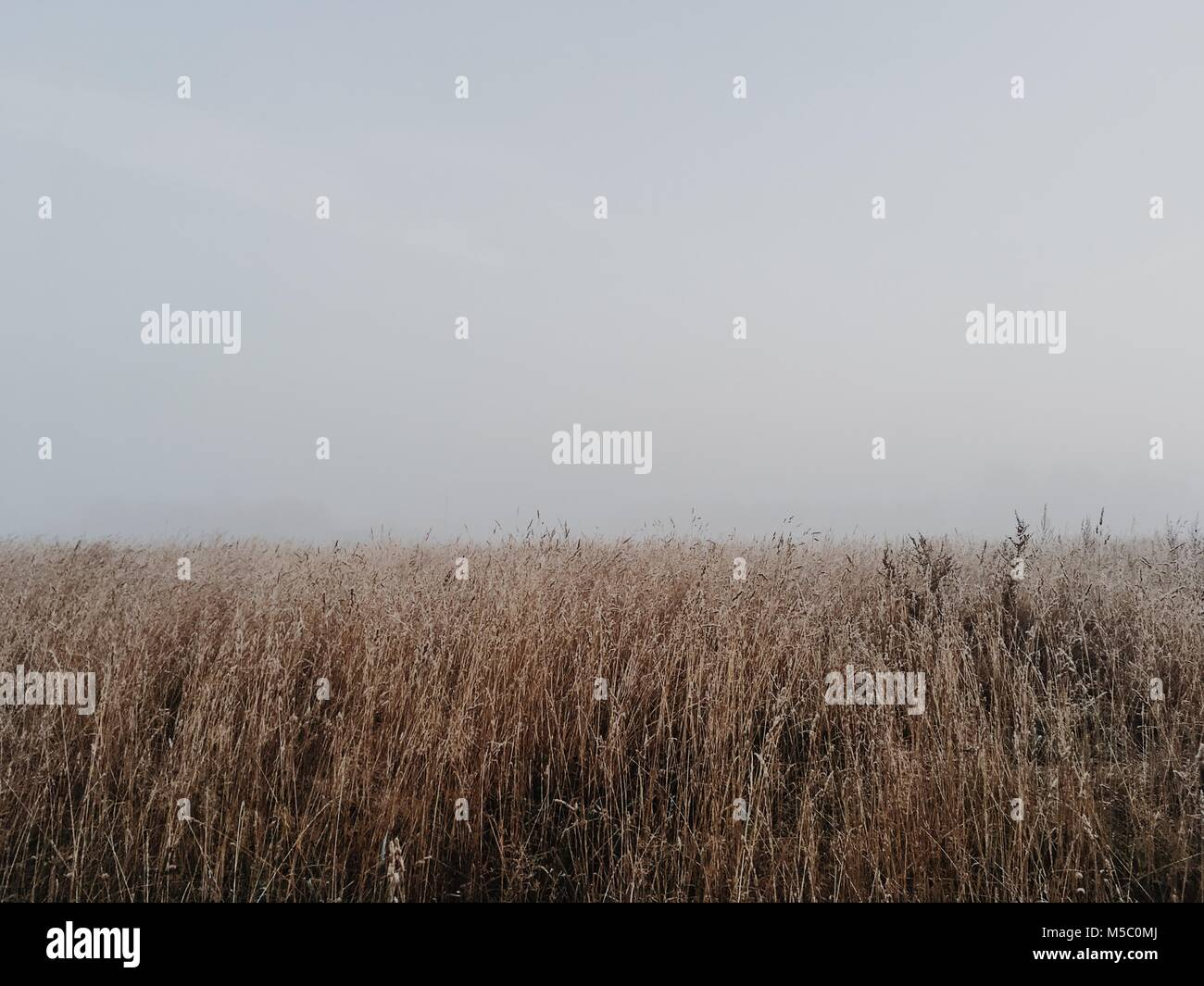 White nothing behind wheat field. Harsh autumn scene with fog. - Stock Image