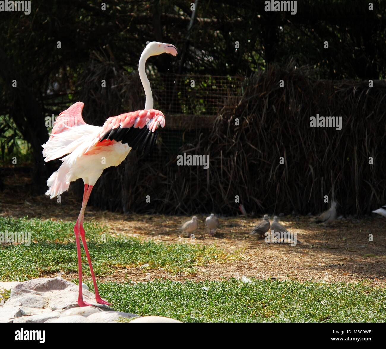 The greater flamingo is the most widespread species of the flamingo family. It is found in Africa, on the Indian subcontinent, in the Middle East & SA. Stock Photo