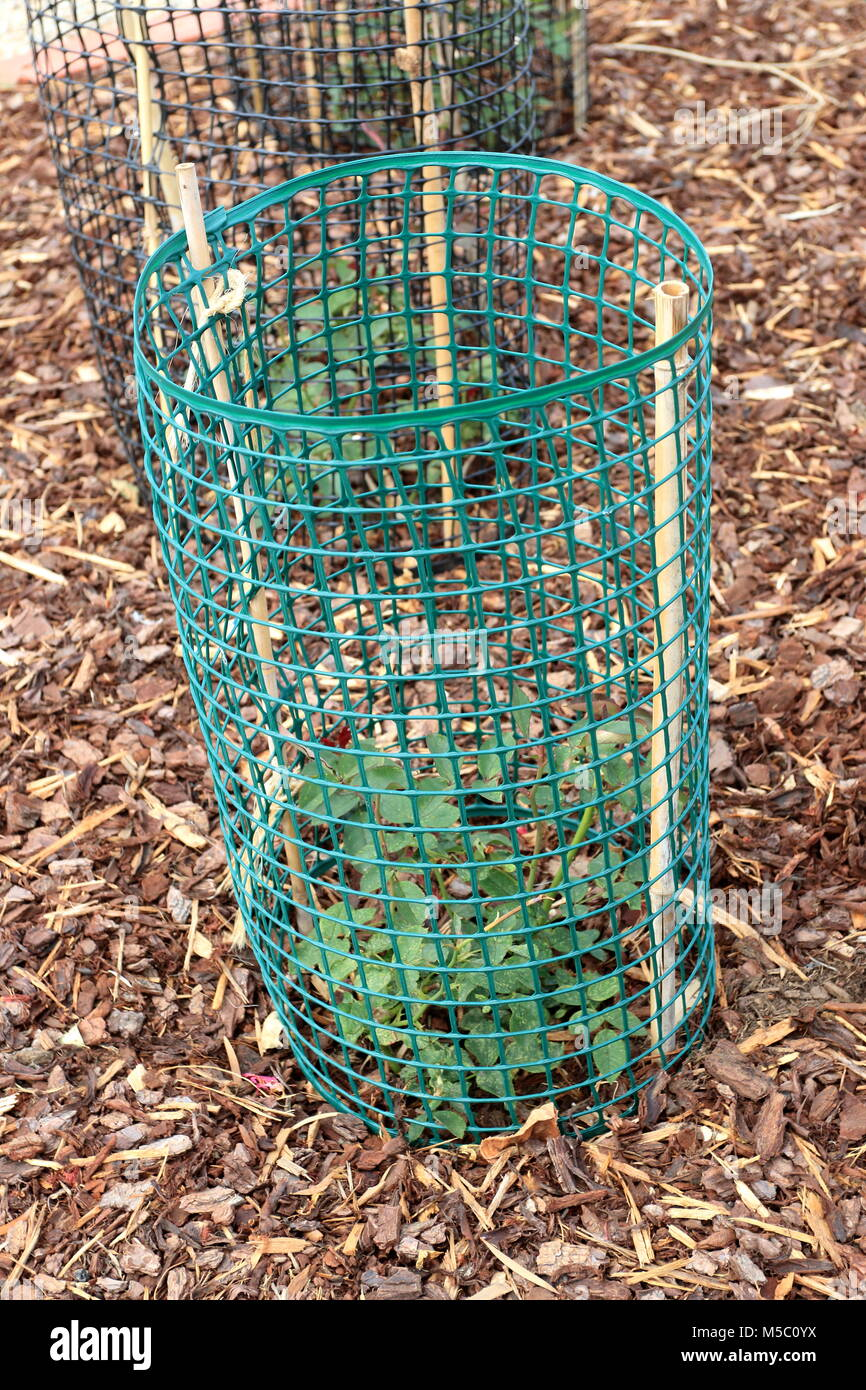 Protecting Rose Plants Using Hard Wire Cage To Protect The