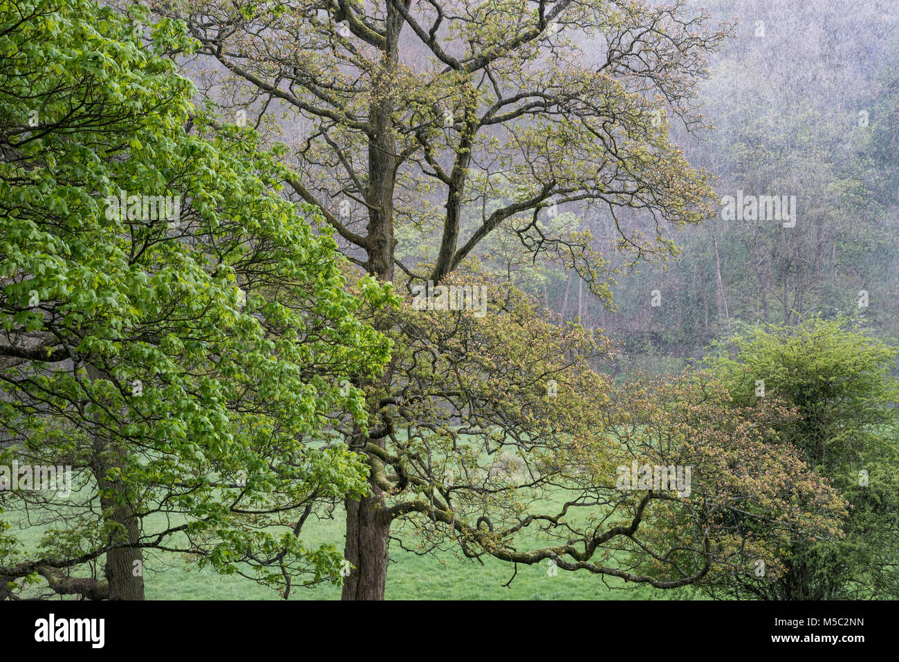 Wintry showers in mid spring landscape. Trees with new greenery on the branches. - Stock Image