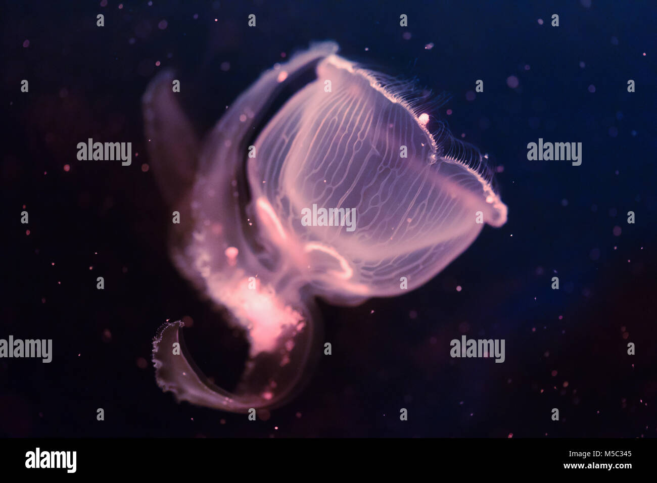Close-up picture of beautiful jellyfish floating in ocean - Stock Image