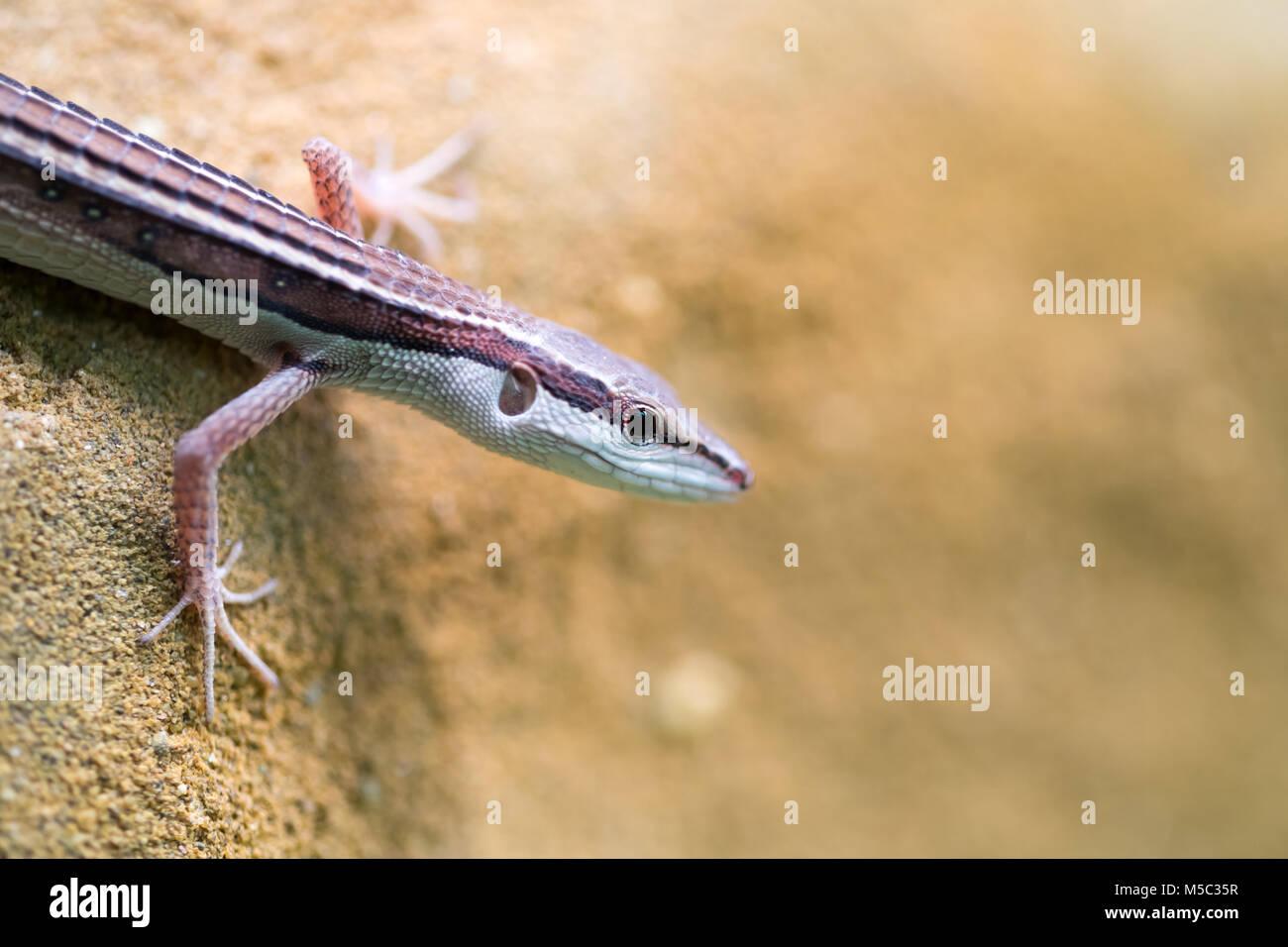 Popular pet gecko, gecko a night active lizard - Stock Image