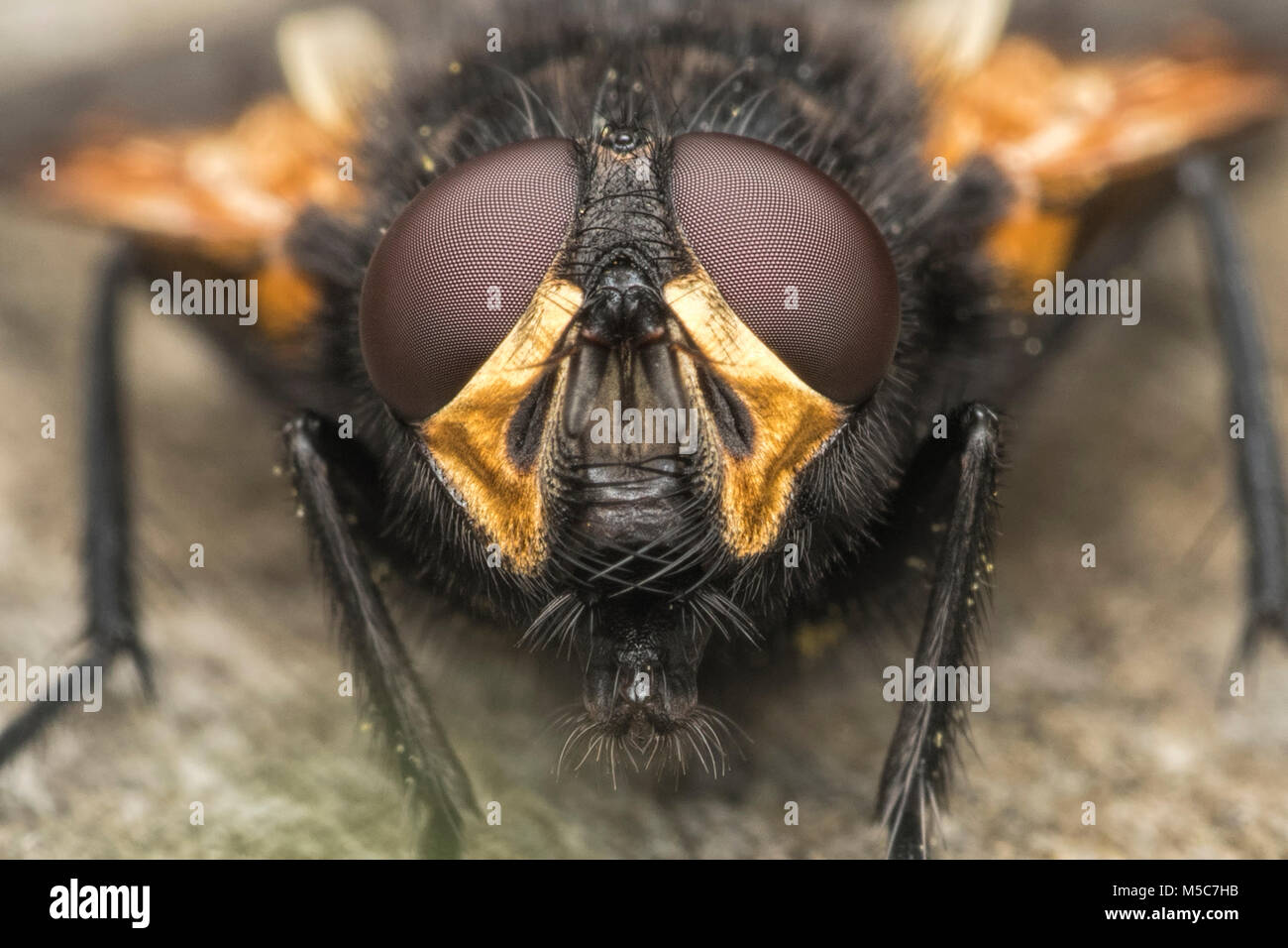 Noon Fly (Mesembrina meridiana) close up of its head showing the compound eyes. Tipperary, Ireland. - Stock Image