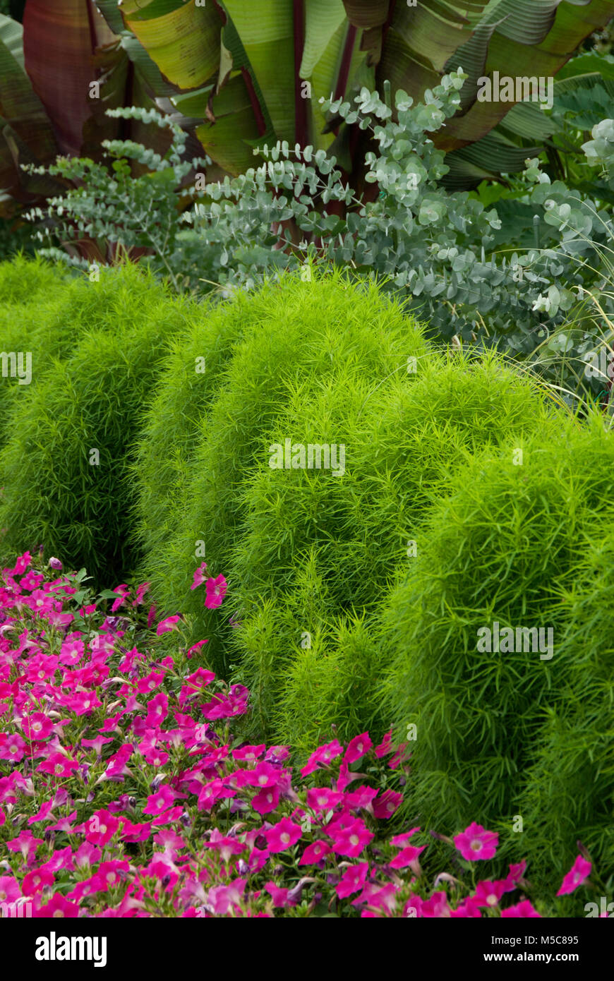 Kochia Scoparia Burning Bush Stock Photo 175446913 Alamy