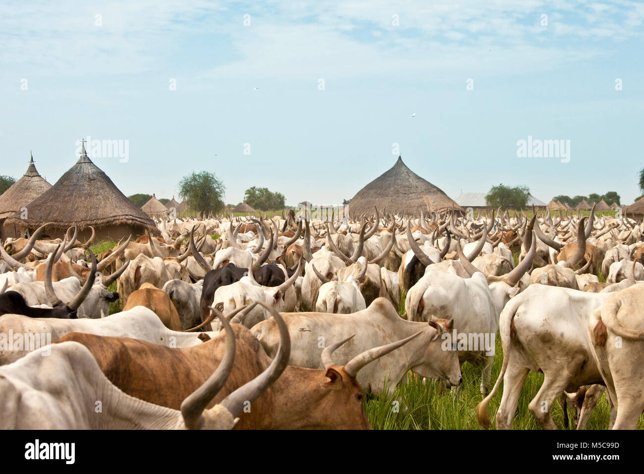 large cattle drive through a village in South Sudan - Stock Image