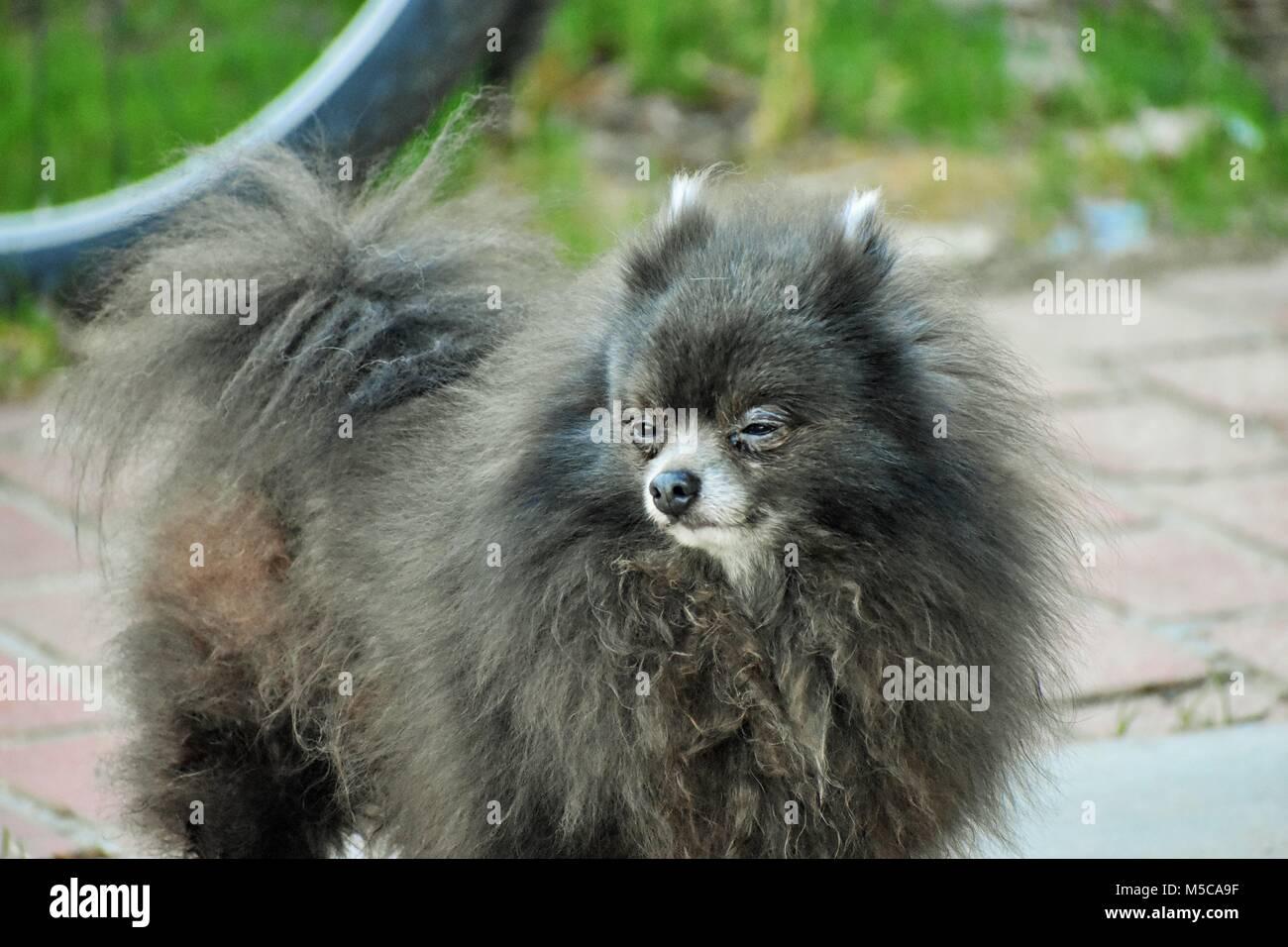 Shifty Eyed Pomeranian - Stock Image