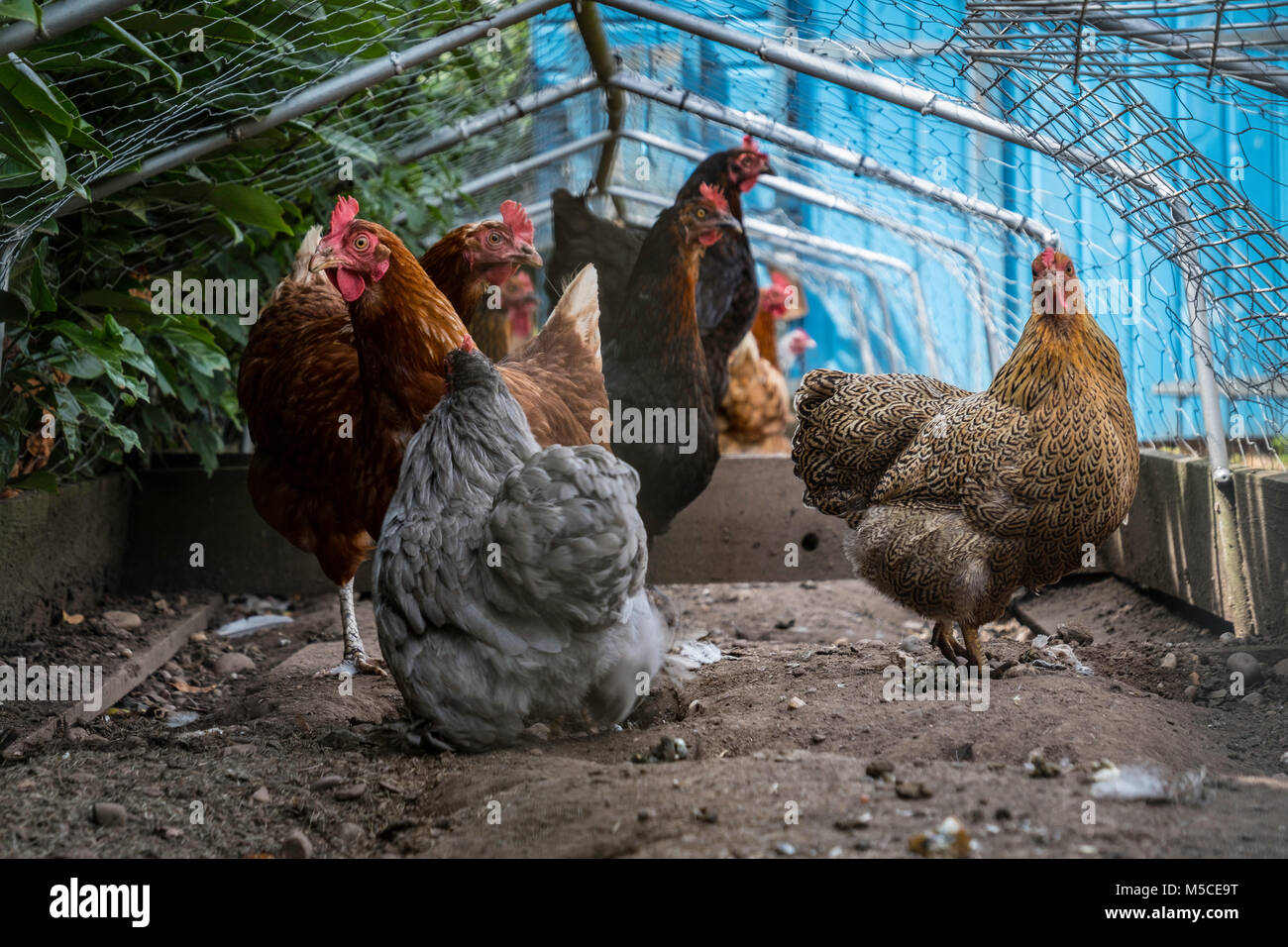 A variety of chicken breeds in a run. - Stock Image