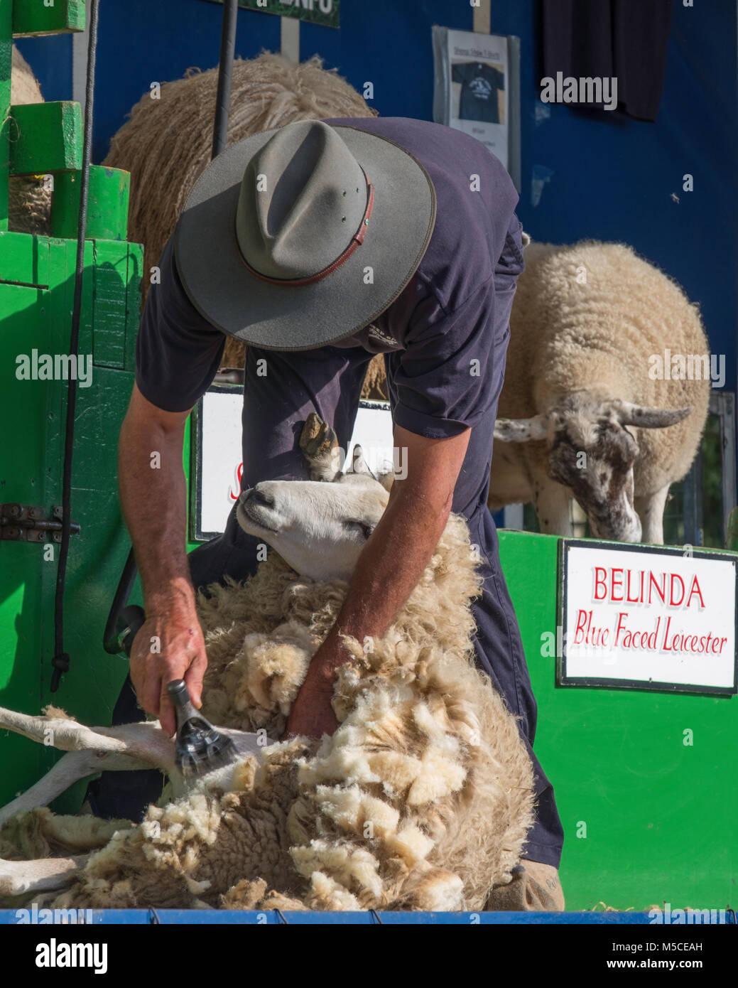 Sheep shearing demonstration at a countryside show. - Stock Image