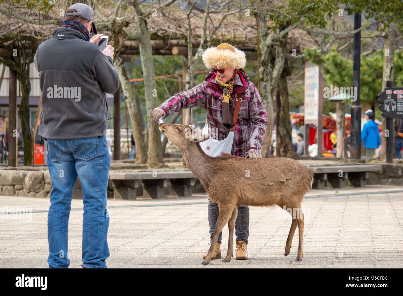 Itsukushima, also known as Miyajima, is a small island in Hiroshima Bay. Tame deer roam the island and often approach - Stock Image