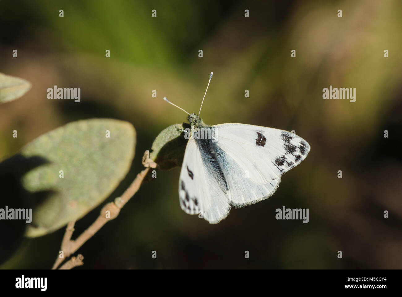 Bath White, Pontia daplidice, butterfly in sun. Stock Photo