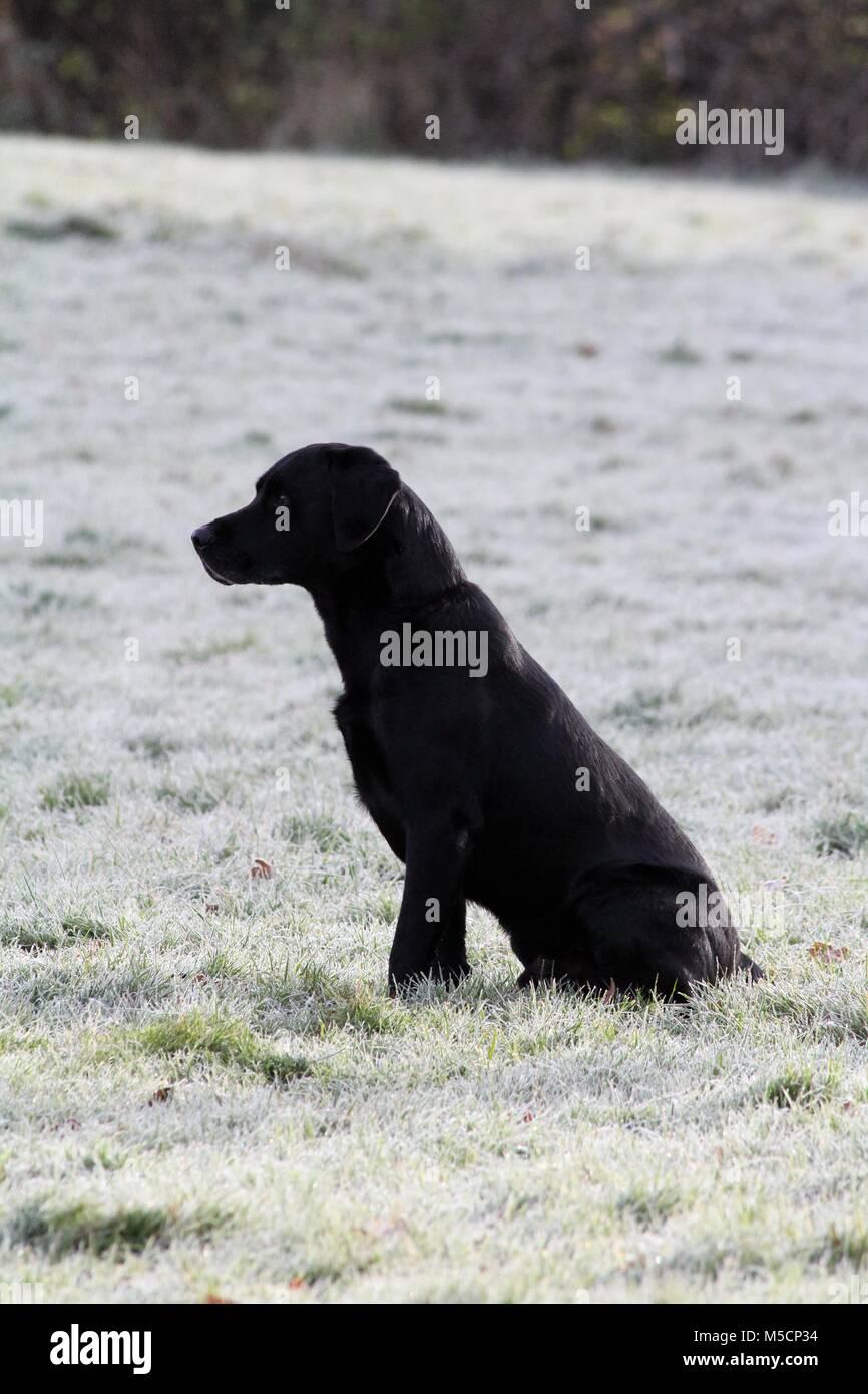 Labrador Retriever, Portrait - Stock Image