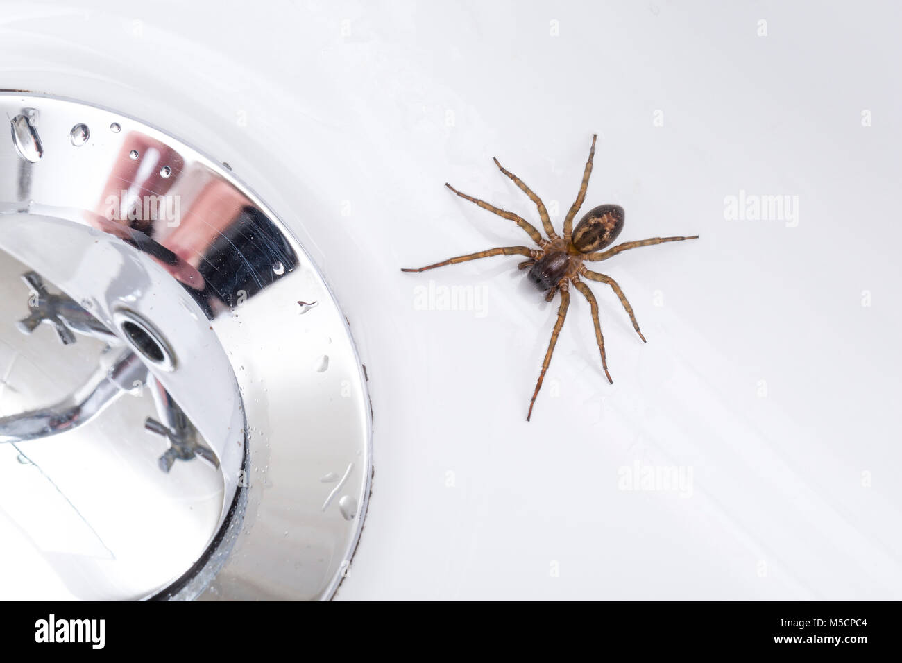 Lace-web Spider, Amaurobius similis, a spider associated with human dwellings, having fallen into a wash basin. - Stock Image