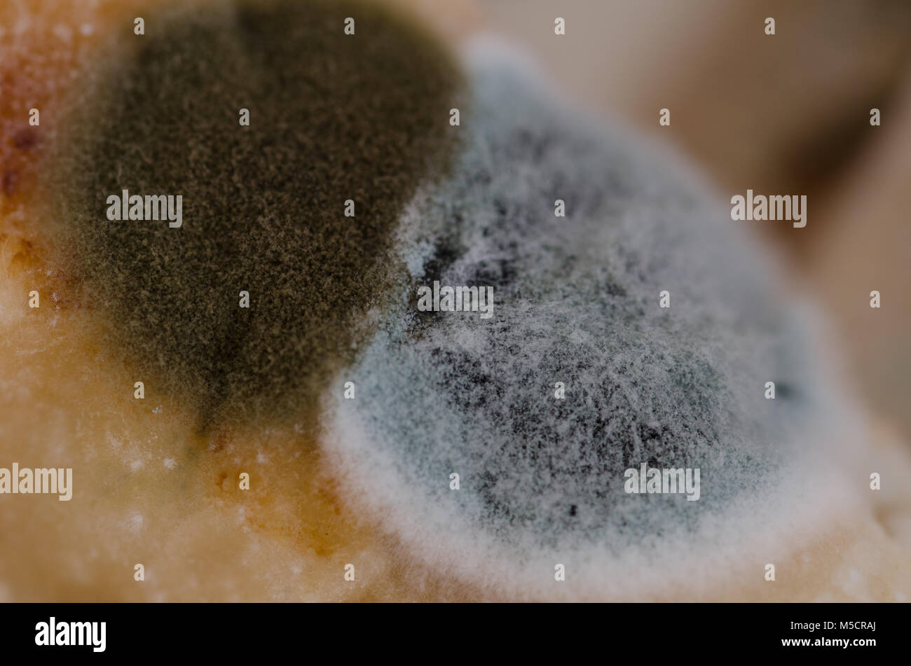 Close up, macro photography of mold on moldy food - Stock Image