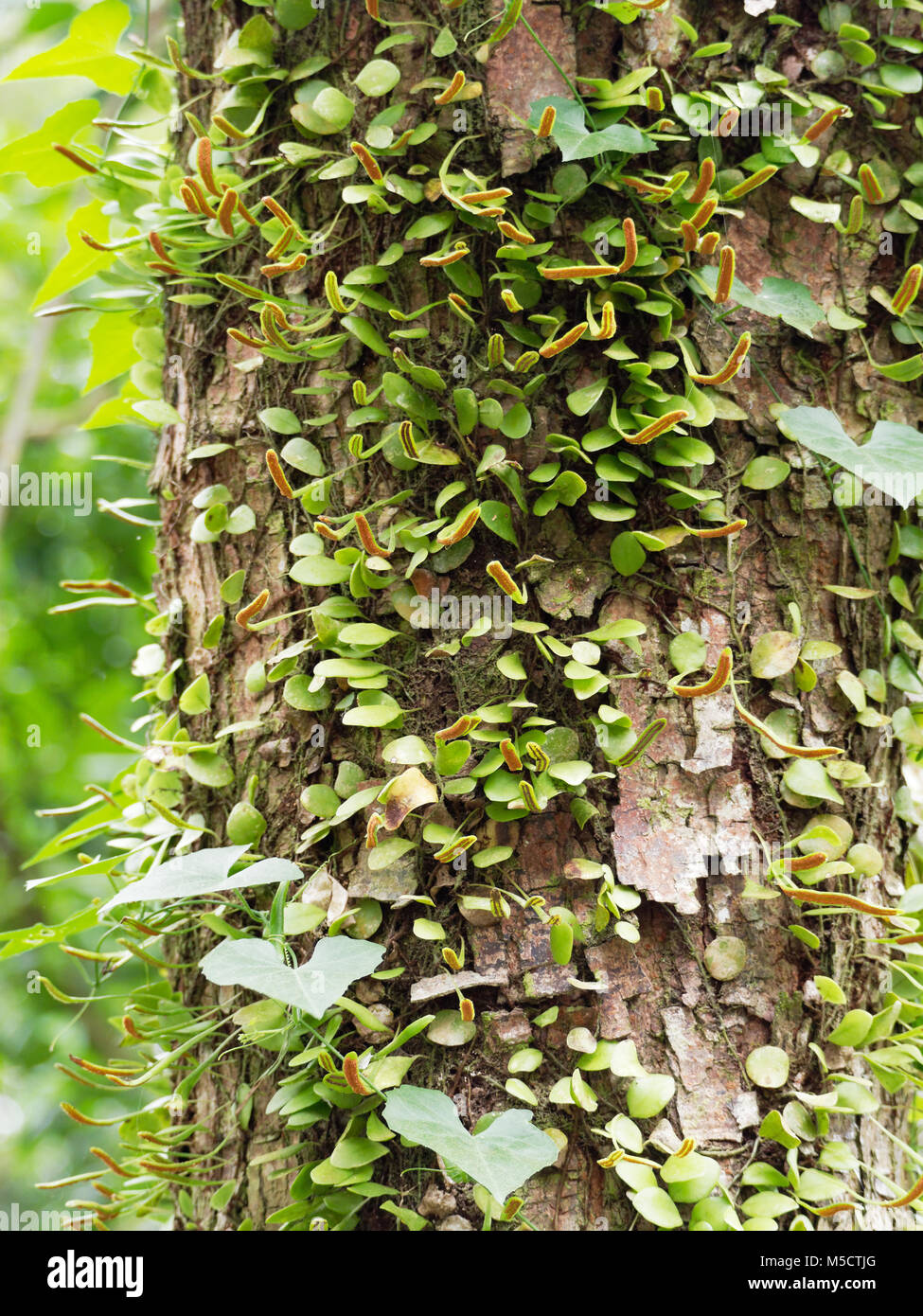 Epiphyte on tree in green tropical garden - Stock Image