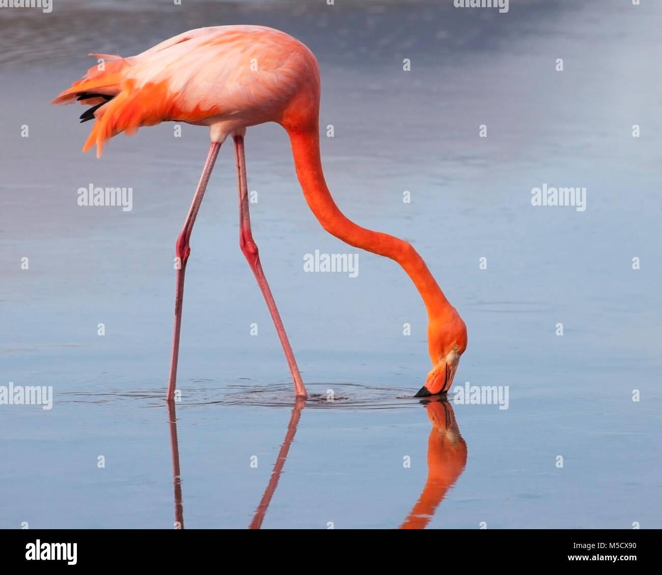 American Flamingo (Phoenicopterus ruber) feeding while wading in saline lake Stock Photo