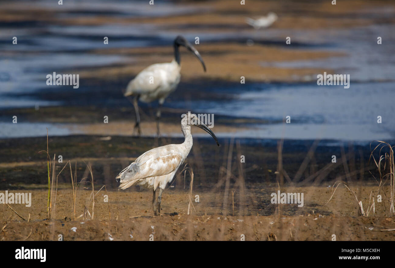 A juvenile black headed ibis standing on the side of a dried up river - Stock Image