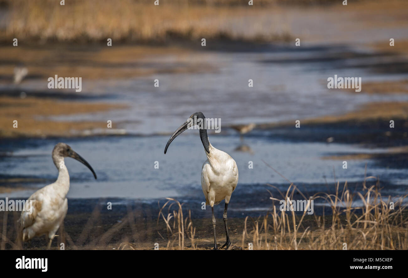 An adult black headed ibis standing on the side of a dried up river looking at an immature ibis - Stock Image