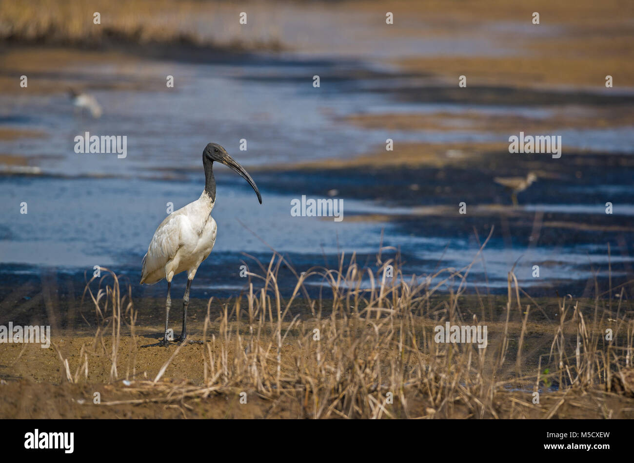A adult black headed ibis standing on the side of a dried up river - Stock Image
