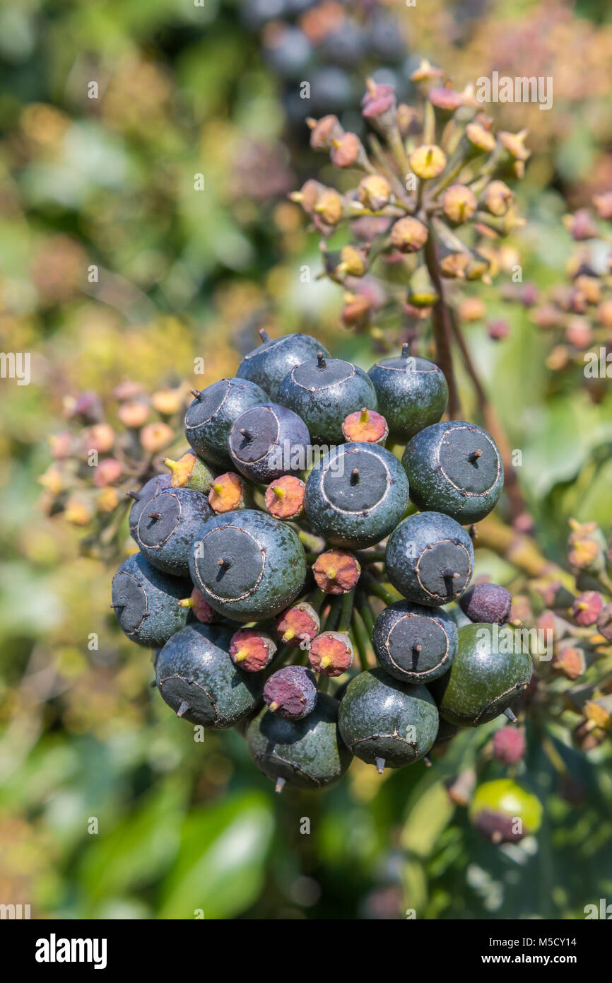 Cluster of black berries of fruit on an Ivy (Hedera helix) plant in Winter in England, UK. Ivy portrait in Winter. Stock Photo