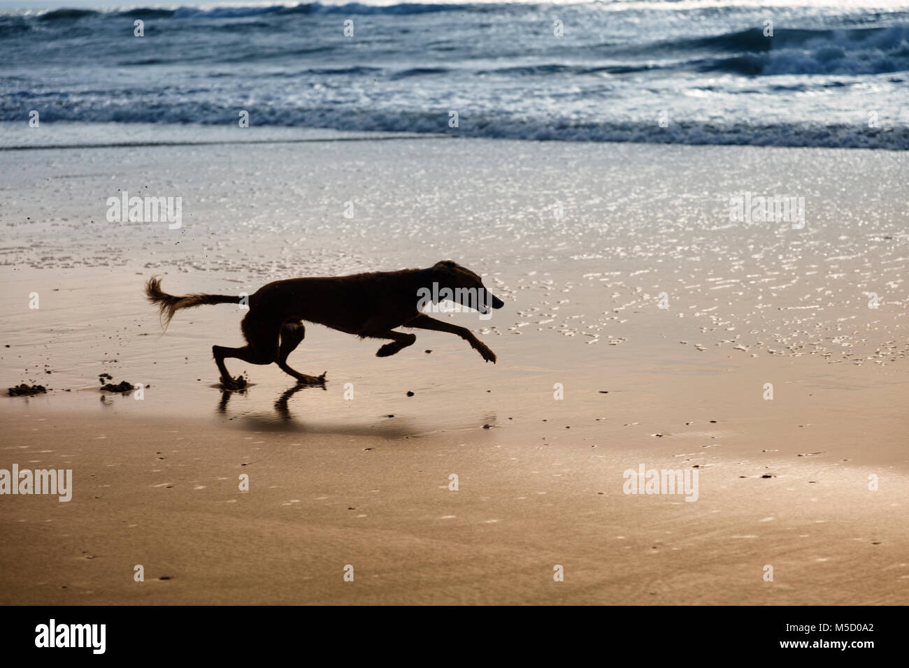 Silhouette of a lurcher (saluki - greyhound) running at speed on the beach on wet sand near the sea. - Stock Image