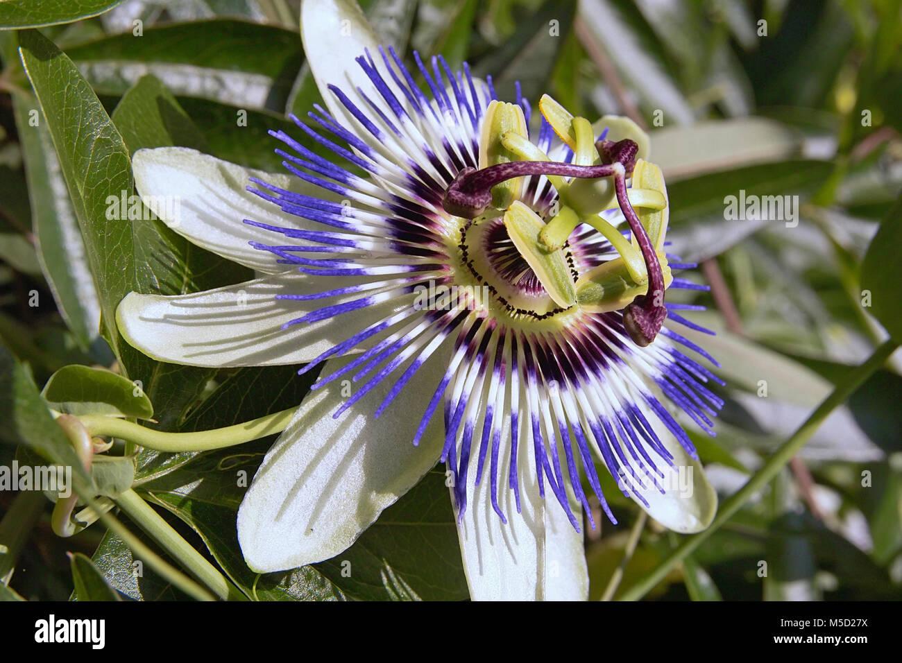 Close Up Of Blue Passion Flower Passiflora Caerulea Stock Photo