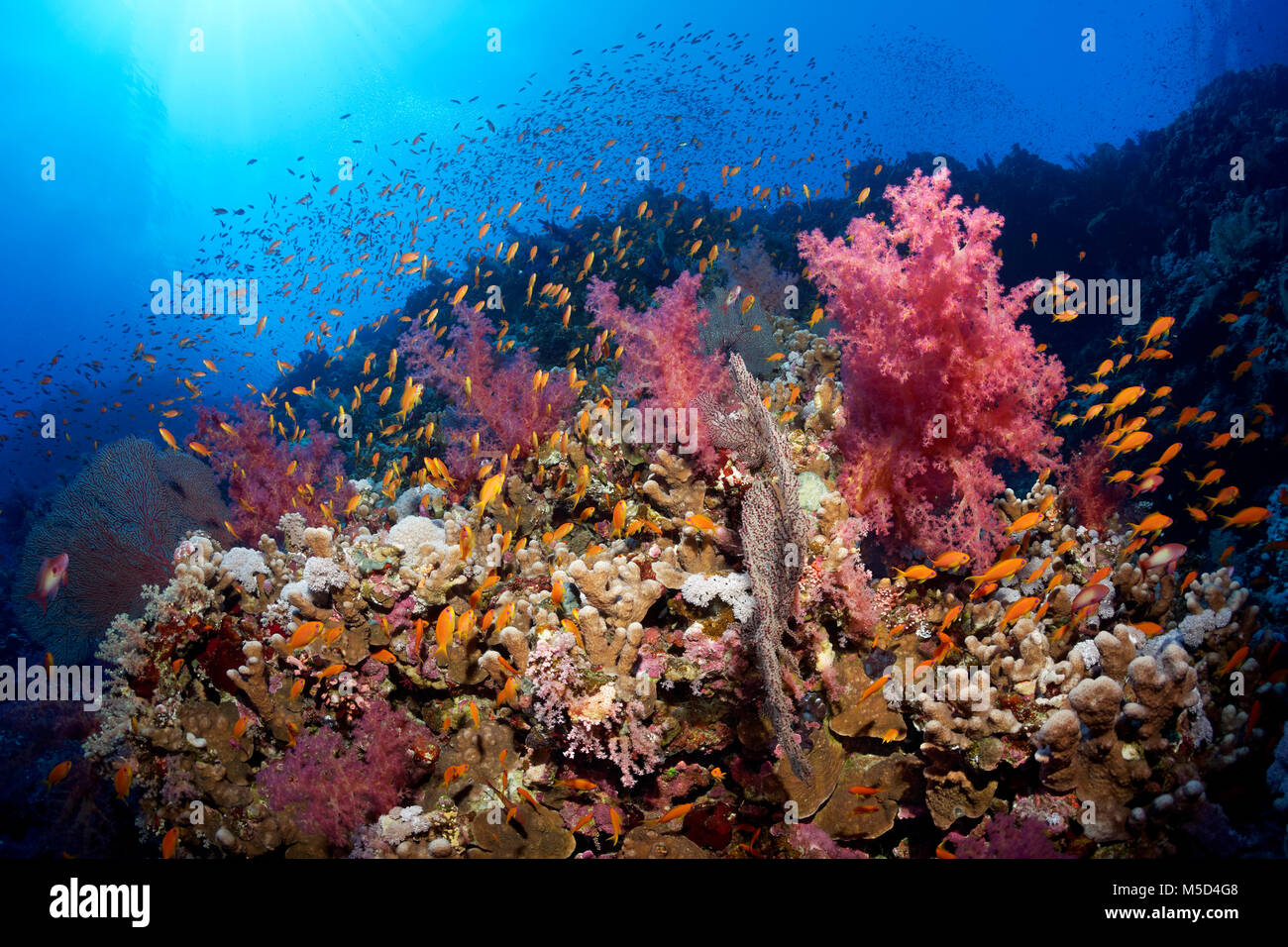 Coral reef, densely overgrown with stony corals (Scleractinia), Soft corals (Alcyonacea), flock of fish, Anthias - Stock Image