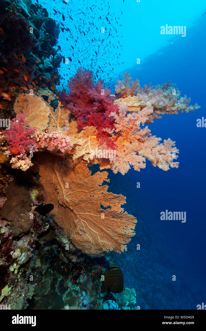 Coral reef, large gorgonian (Annella mollis), various Soft corals (Alcyonacea), red, Red Sea, Egypt - Stock Image
