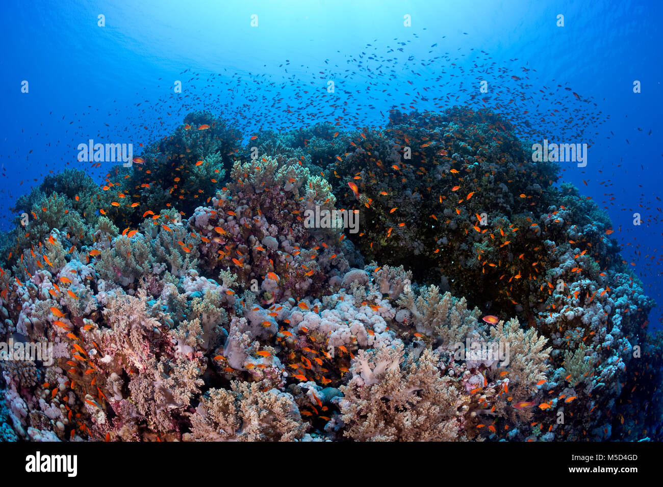 Typical coral reef, densely overgrown with various corals, with shoal Anthias (Anthiinae), Red Sea, Egypt - Stock Image