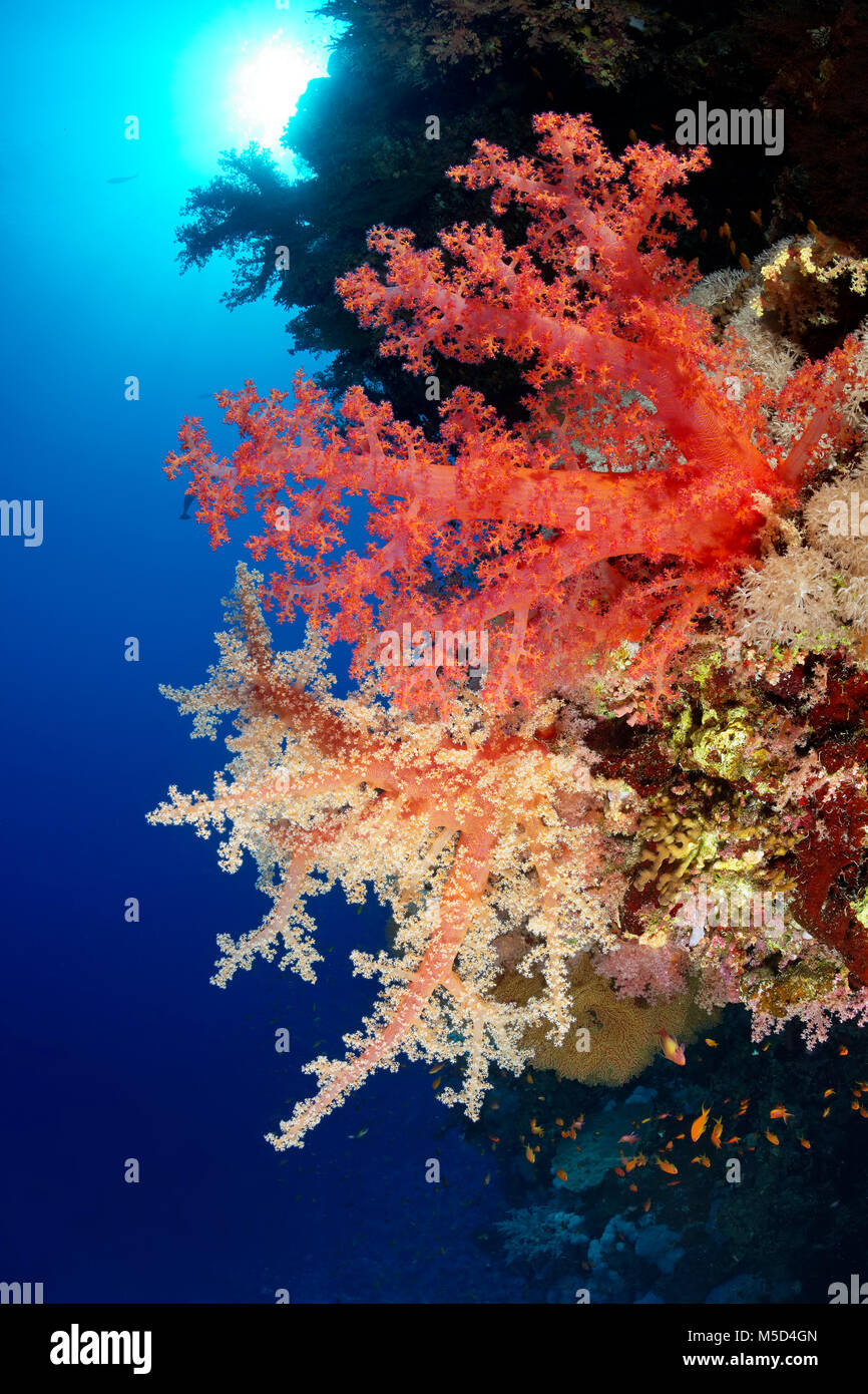 Coral reef, different coloured Klunzinger's Soft Coral (Dendronephthya klunzingeri), red, red, Red Sea, Egypt - Stock Image