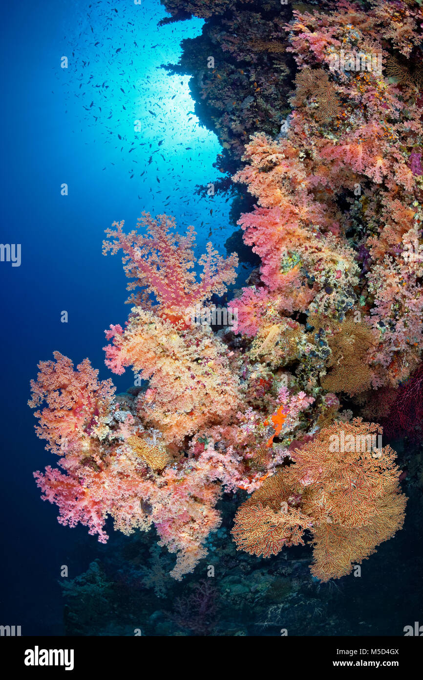 Coral reef, dense vegetation of different Soft corals (Alcyonacea), red, Red Sea, Egypt - Stock Image