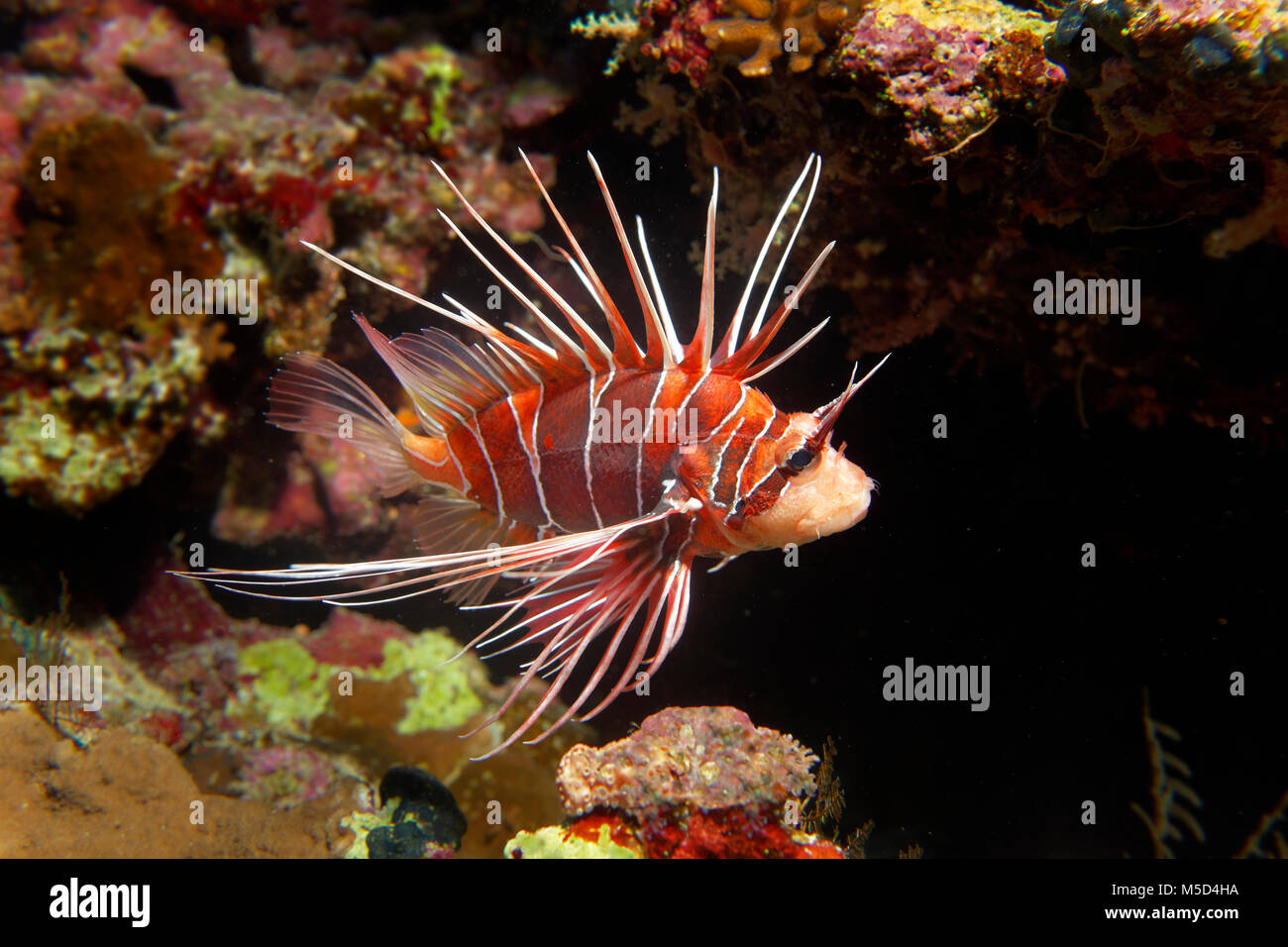 Radial firefish (Pterois radiata) at the coral reef, nocturnal, Red Sea, Egypt - Stock Image