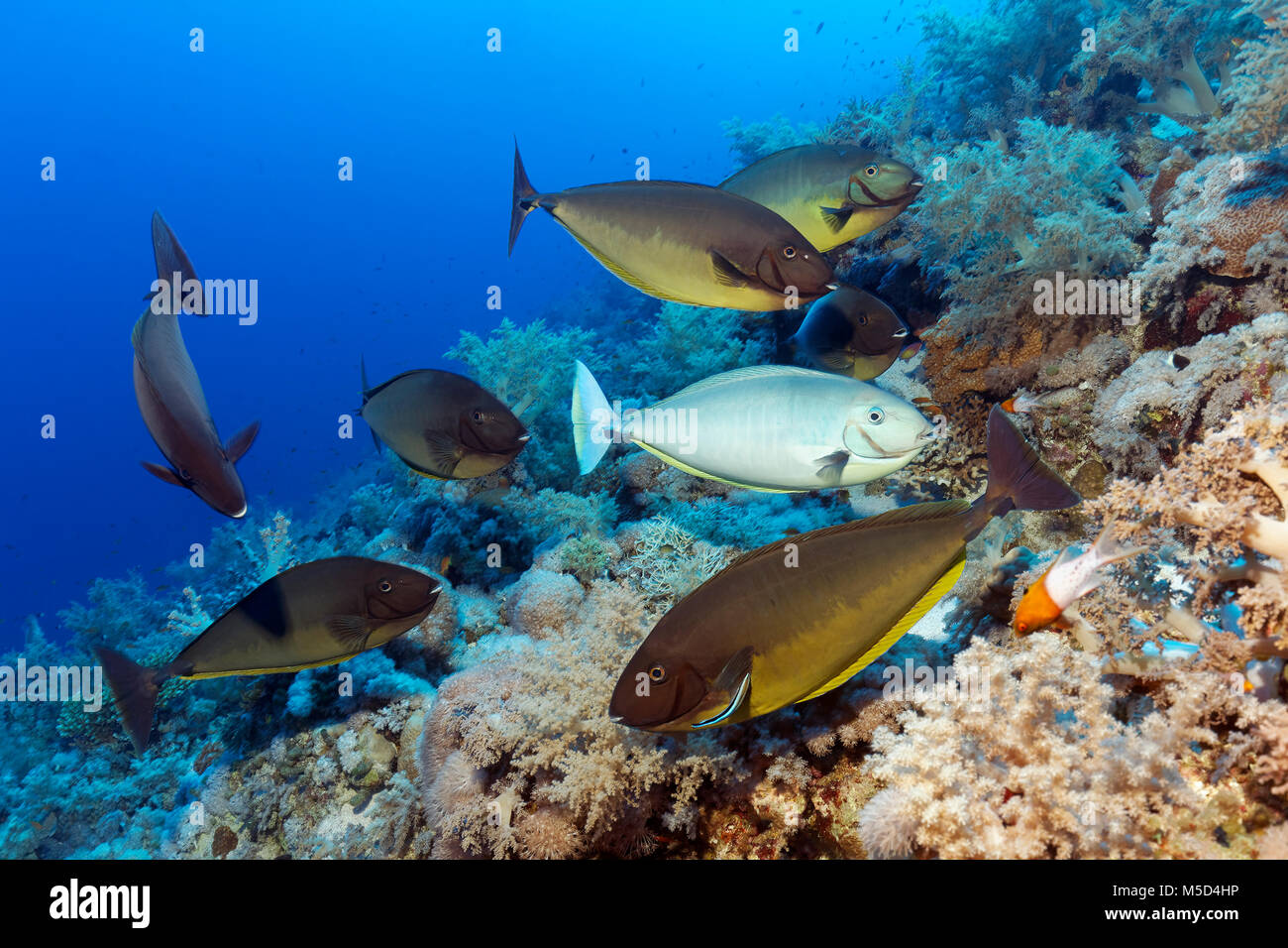 Fish swarm, Bluetail Unicornfish (Naso hexacanthus), various colours, at cleaning station, Bluestreak cleaner wrasse - Stock Image
