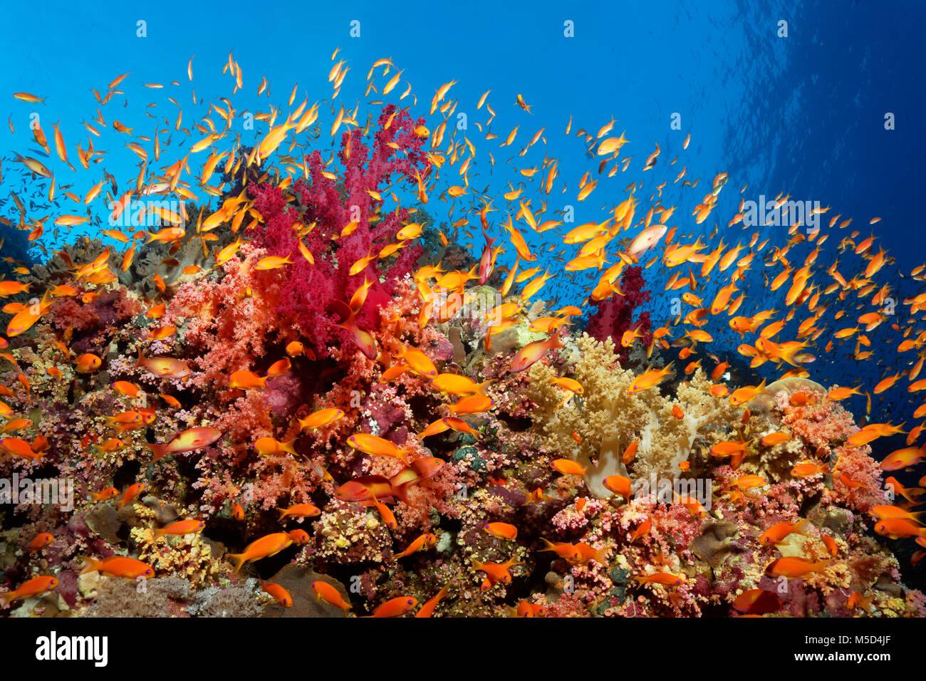 Swarm of Anthias (Anthiinae) swimming close to coral reef, Red Sea, Egypt - Stock Image