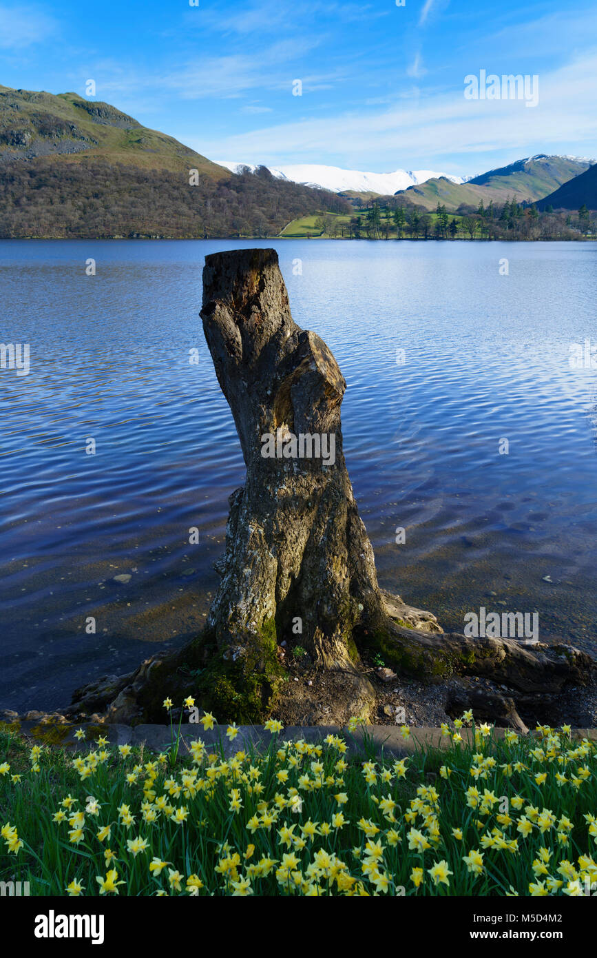 Lake District, Cumbria, England - Ullswater in early spring. Old cut down tree on shore. - Stock Image