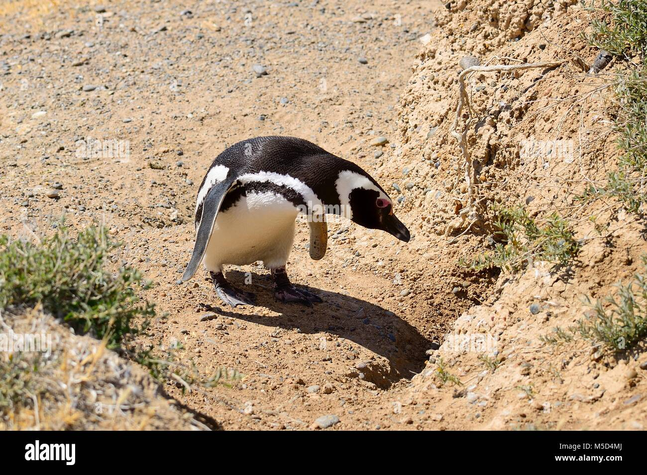 Magellanic penguin (Spheniscus magellanicus) in front of breeding burrow, Caleta Valdes, Peninsula Valdes, Chubut, - Stock Image