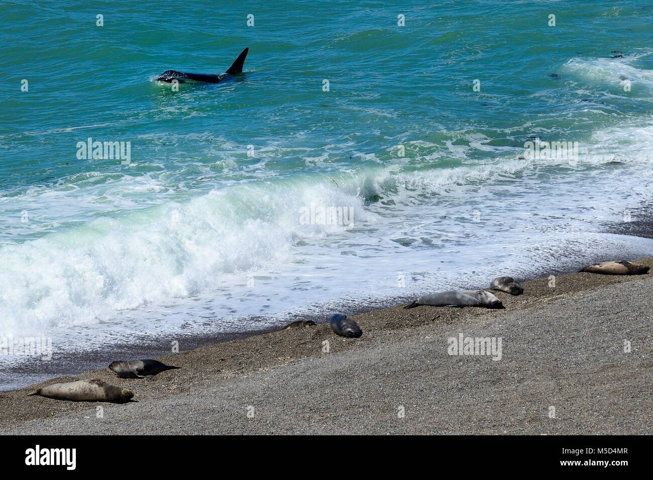 Killer whale (Orcinus orca) searching for prey in front of gravel bank with Southern elephant seals (Mirounga leonina) - Stock Image
