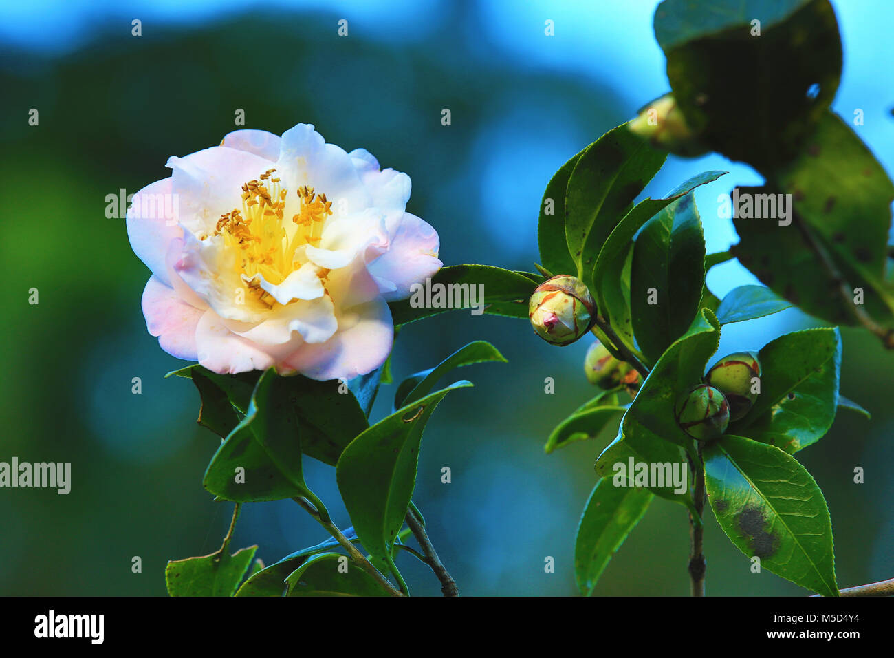 White with pink camellia flowersbeautiful flowers with raindrop white with pink camellia flowersbeautiful flowers with raindrop blooming in the garden izmirmasajfo