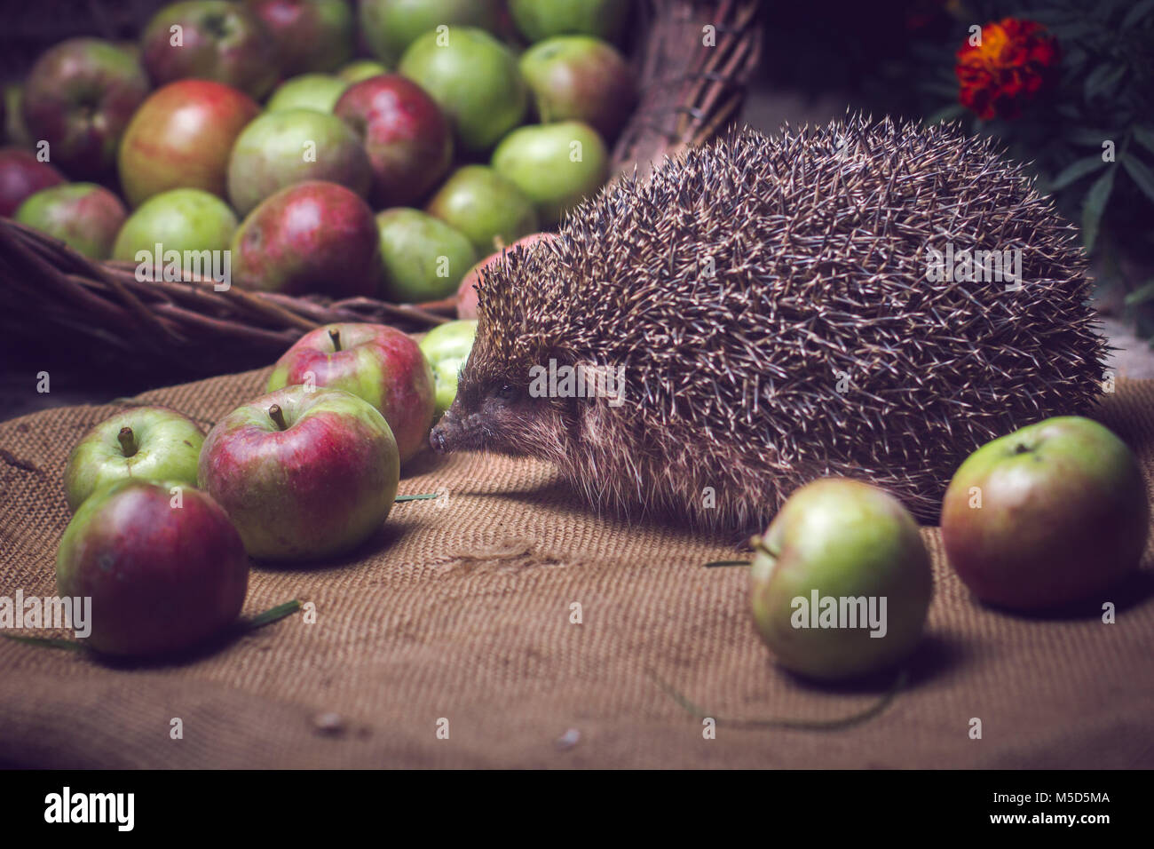 animals, barbed, beasts, cute animals, drinking milk, excellent, forest animals, fruits, good, hedgehog, milk, nice, - Stock Image