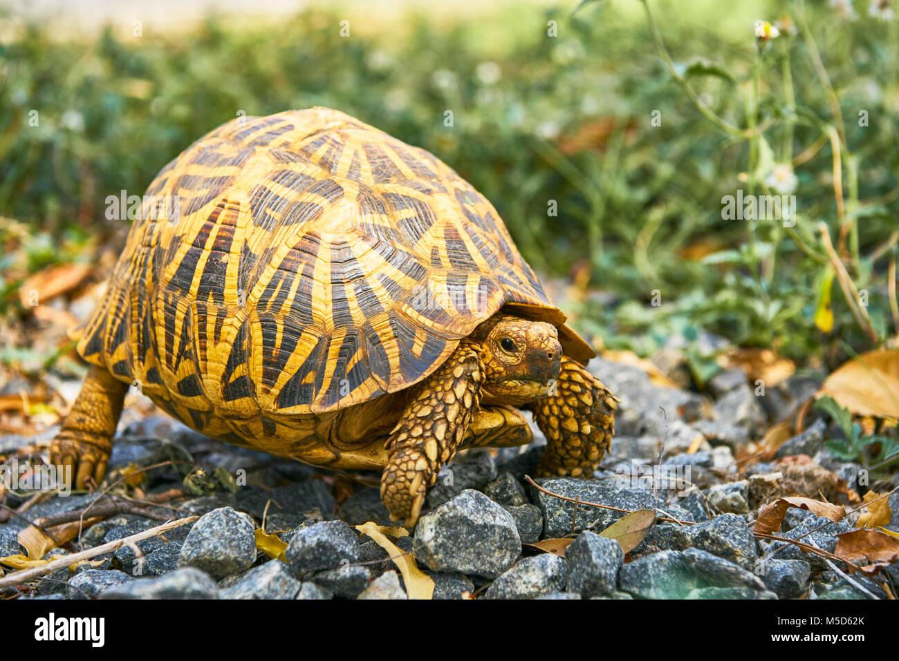 Indian Star Tortoise (Geochelone elegans), Yala National Park, Southern Province, Sri Lanka - Stock Image