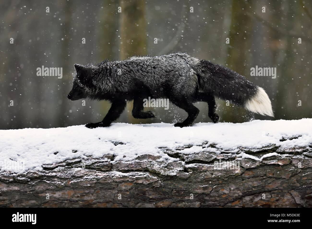 Silver fox, dark-black, colour variation of the Red fox (Vulpes vulpes), runs over a tree trunk in snowfall, captive - Stock Image