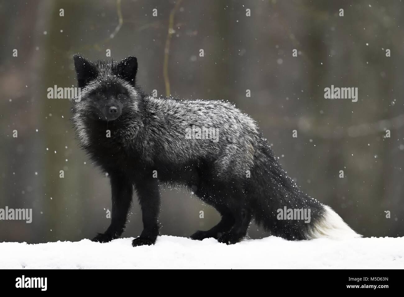 Silver fox, dark-black, colour variation of the Red fox (Vulpes vulpes), in snowfall, captive, Czech Republic - Stock Image