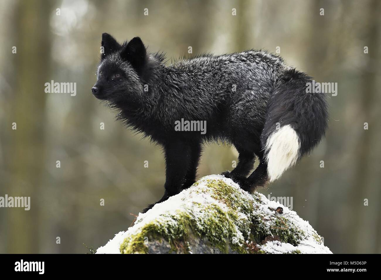 Silver fox, dark-black, colour variation of the Red fox (Vulpes vulpes), stands on a stone, captive, Czech Republic - Stock Image